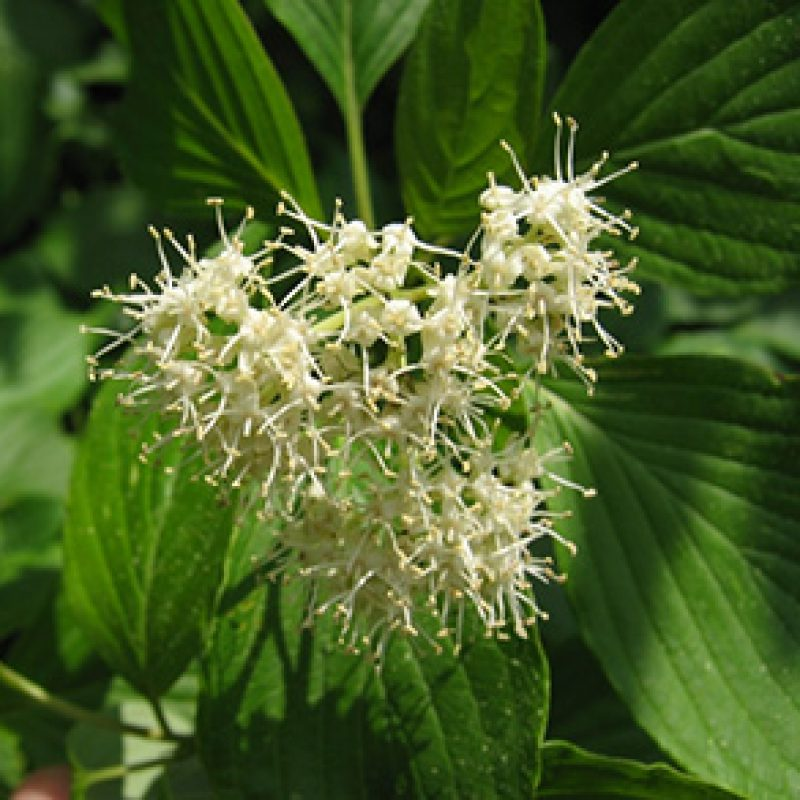 Image for Alternate-Leaved Dogwood