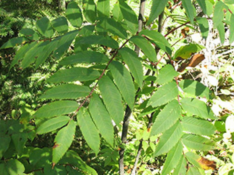Image for American Mountain Ash
