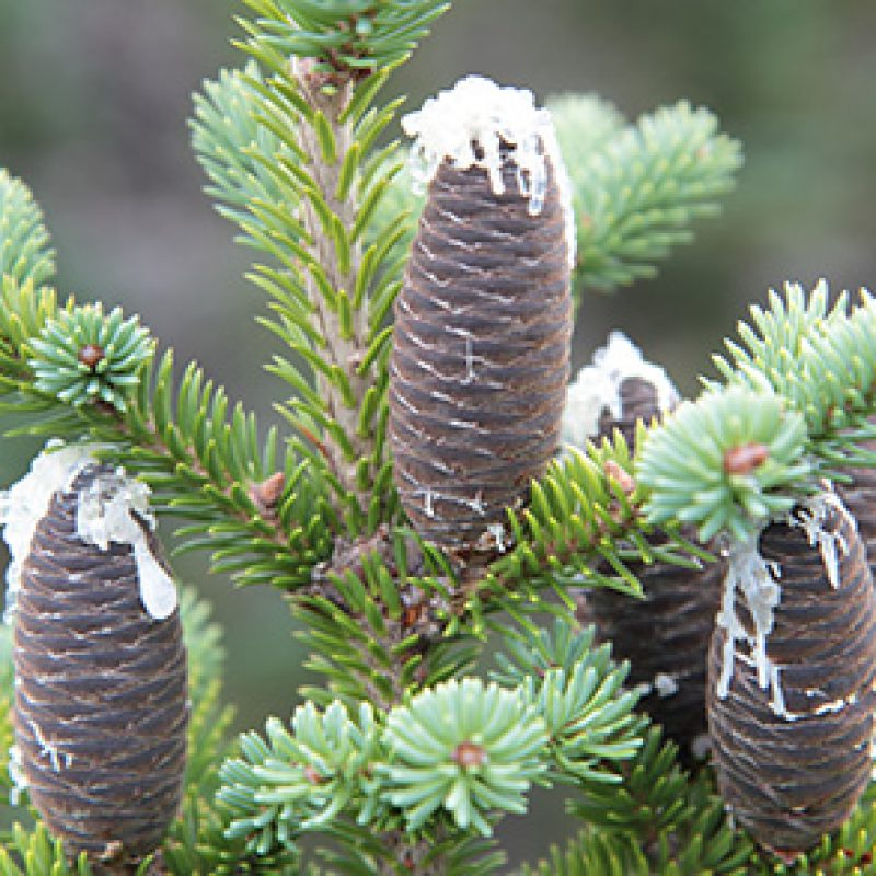 Image for Balsam Fir
