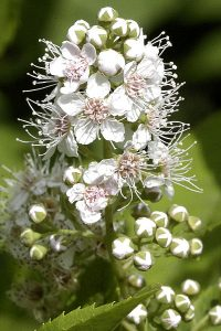 Narrow Leaved Meadowsweet