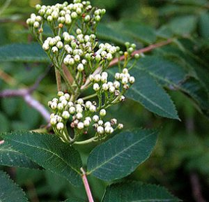 Showy Mountain-Ash
