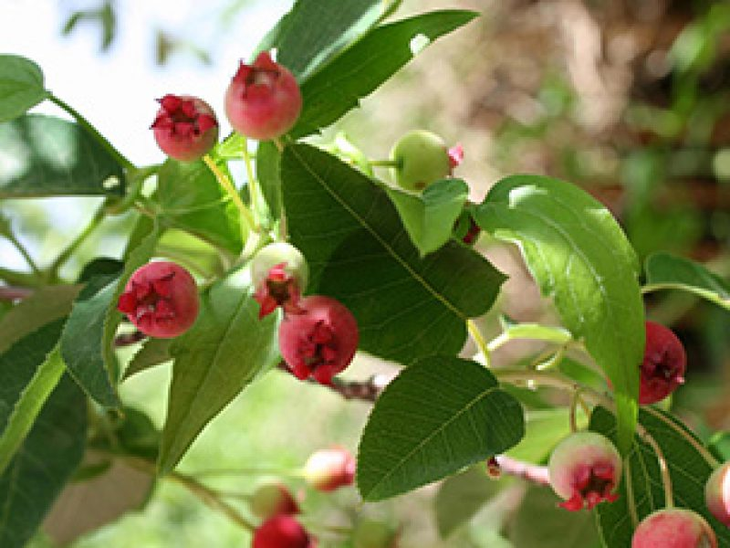 Image for Allegheny Serviceberry