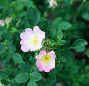 Smooth Wild Rose