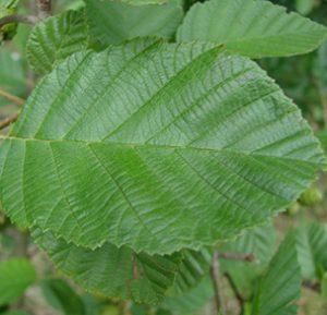 Speckled Alder