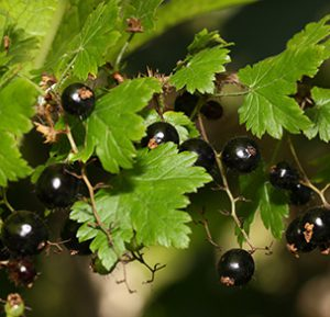 Swamp Black Currant