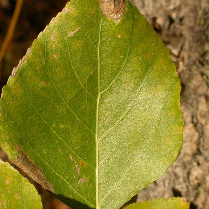 Image for Balsam Poplar