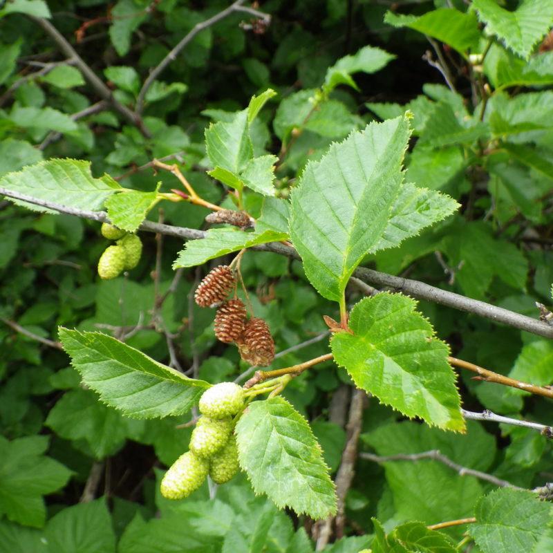Image for American Green Alder