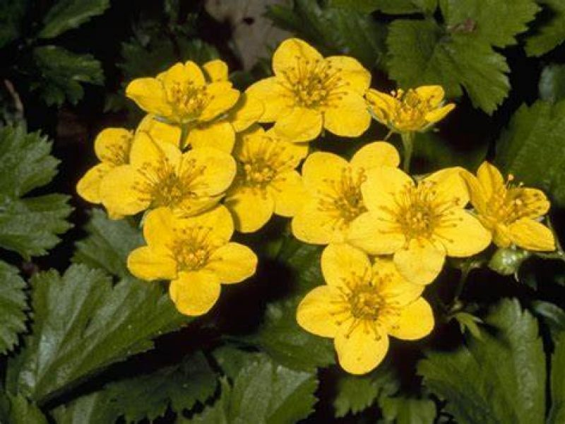 Image for Barren Strawberry