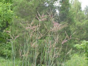 Big bluestem or Turkey foot