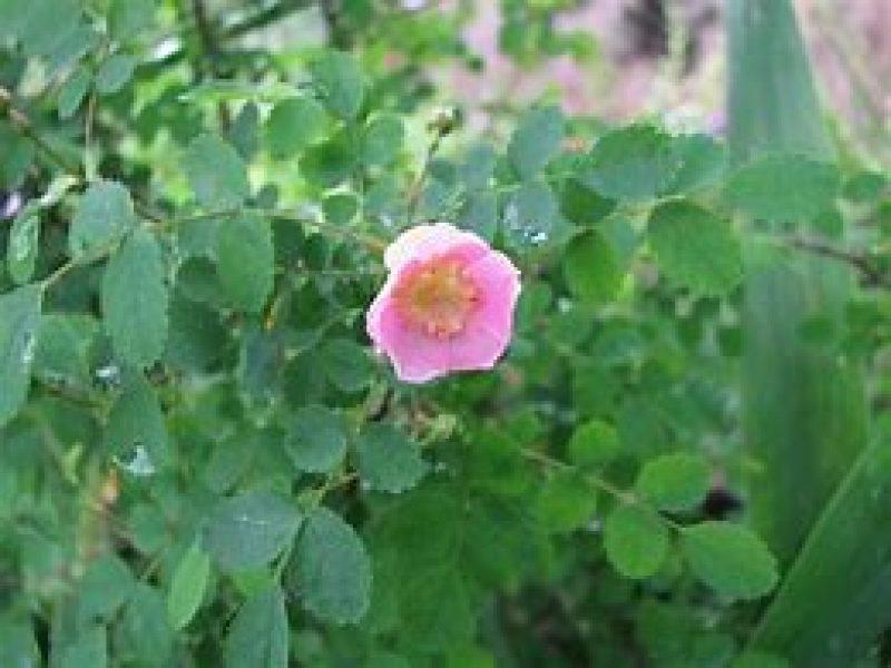 Image for Baldhip Rose